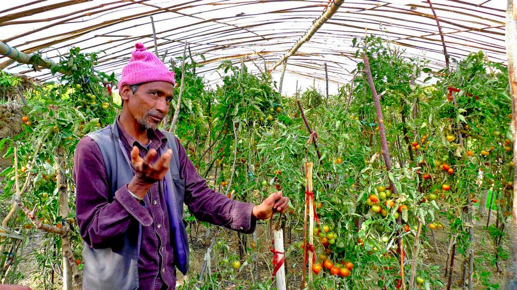 Ghore Phare stands next to a tomato place in his green house.