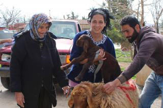 LOST sheep comes to stay with Lebanese family