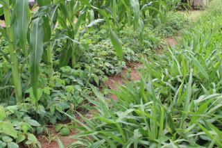 A lush field of corn crops.
