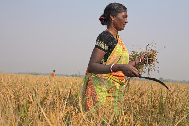 "In Bolpur and surrounding villages in West Bengal, India, rice is harvested in November. This 2012 crop is Meru Hansda's first using System of Rice Intensification, a method taught by MCC partner Asansol Burdwan Seva Kendra (ABSK). Instead of scattering seed like before, farmers plant in rows and use one seed per hole. When seedlings don't compete for space, they produce more rice. ""There is a lot of change,"" Hansda says. ""This is the best way to cultivate."""