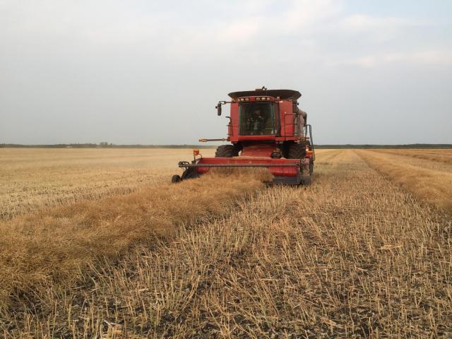 Bernie Brandt harvests Tiny Creek Farms' Grow Hope canola field in mid-August.