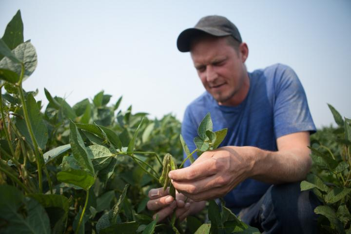 Grant Dyck inspects his soybean crop.