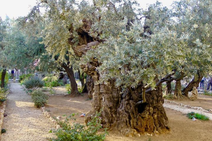 A 1000-year-old olive tree in the Garden of Gethsemane.