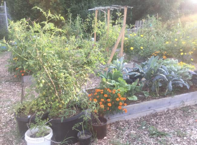 A full garden of vegetables in raised boxes.