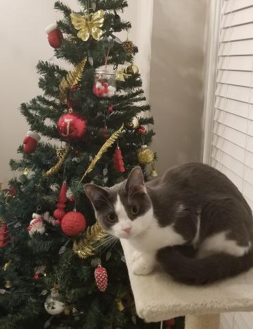 Nuci the cat enjoys Christmas.