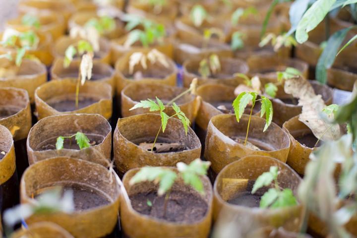 Seedlings growing in small cups.